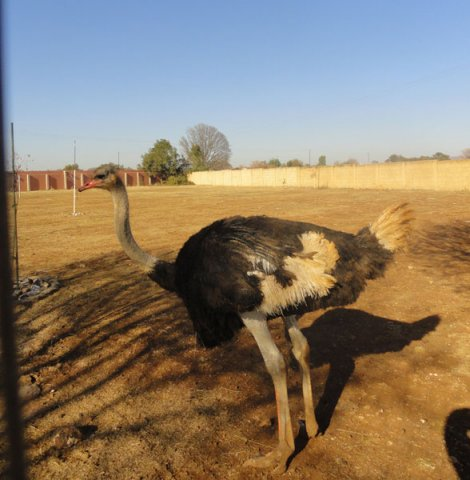 DELIVERY-OF-OSTRICHES-AROUND-GAUTENG-AT-A-REASONABLE-PRICE